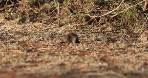 Afrykański trawa szczura karmienie