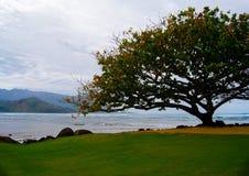 Afrykański Tulipanowy drzewo na wyspie Kauai Hawaje obrazy royalty free
