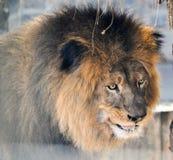 afrykański zwierzęcy niewolnictwa klatki lwa zoo obrazy stock