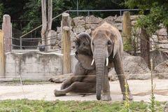 Afrykańskich słoni bawić się Obrazy Stock