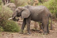 Afrykańskich słoni karmić Zdjęcie Royalty Free