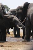 Afrykańskich słoni Zamknięty up Pić Zdjęcie Royalty Free
