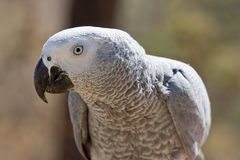 afrykańskich szarość papuga Obrazy Royalty Free