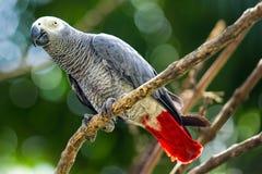 afrykańskich szarość papuga Obraz Stock