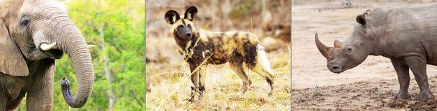 Afrykańskich zagrożonych gatunków Horyzontalny sztandar Fotografia Royalty Free