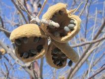 Afrykańskie Cisawe owoc Zdjęcie Stock