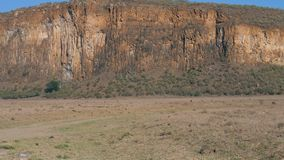 Afrykańskie zebry Podążają Each Inny Na Zakurzonej ziemi W sawannie zbiory