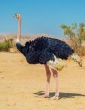 afrykańskiego camelus męski strusi struthio Zdjęcie Royalty Free