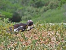 Afrykańskiego pingwinu łgarski puszek na ziemi Obraz Stock