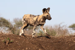 Afrykańskiego przylądka łowiecki pies, Lycaon pictus Fotografia Stock