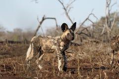 Afrykańskiego przylądka łowiecki pies, Lycaon pictus Obrazy Royalty Free