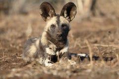 Afrykańskiego przylądka łowiecki pies, Lycaon pictus Zdjęcie Royalty Free