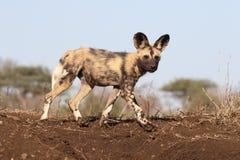 Afrykańskiego przylądka łowiecki pies, Lycaon pictus Zdjęcia Royalty Free