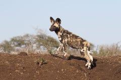 Afrykańskiego przylądka łowiecki pies, Lycaon pictus Obraz Royalty Free