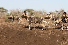 Afrykańskiego przylądka łowiecki pies, Lycaon pictus Obrazy Stock