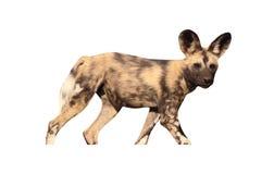 Afrykańskiego przylądka łowiecki pies, Lycaon pictus Zdjęcie Stock