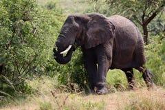 Afrykańskiego słonia łasowanie Obrazy Royalty Free