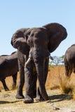 Afrykańskiego słonia Afryka safari pustkowie i przyroda Fotografia Royalty Free
