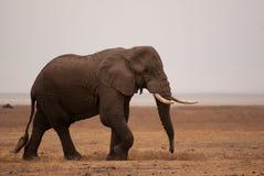 Afrykańskiego słonia błąkanina w Ngorongoro kraterze Zdjęcie Royalty Free
