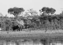 Afrykańskiego słonia czerni biel obrazy royalty free