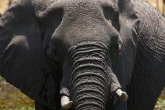 Afrykańskiego słonia Intensywny moment Zdjęcie Royalty Free
