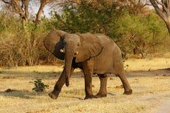 Afrykańskiego słonia kroczyć dumnie Obraz Stock