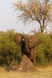 Afrykańskiego słonia kroczyć dumnie Zdjęcia Royalty Free