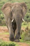 Afrykańskiego słonia Męski odprowadzenie w Dzikim Fotografia Stock