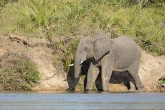 Afrykańskiego słonia Mala Mala gry rezerwa Sou (Loxodonta africana) Fotografia Stock