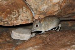 Afrykańskiego słonia mysz wśród kamieni Obraz Stock