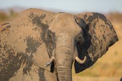 Afrykańskiego słonia portret, Kruger park, Południowa Afryka (Loxodonta africana) Zdjęcie Royalty Free