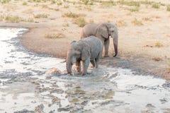 Afrykańskiego słonia porywający up błoto w waterhole dla borowinowego skąpania Obrazy Royalty Free