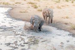 Afrykańskiego słonia porywający up błoto w waterhole dla mudbath Obrazy Stock