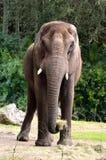 Afrykańskiego słonia postawa Obrazy Stock