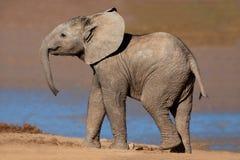 afrykańskiego słonia potomstwa obraz stock