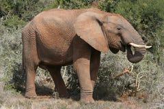 afrykańskiego słonia profil Zdjęcia Royalty Free