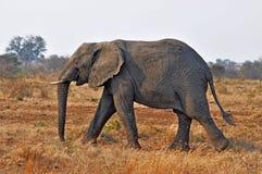 afrykańskiego słonia przyroda Zdjęcie Royalty Free