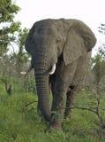 afrykańskiego słonia przyroda Obrazy Royalty Free