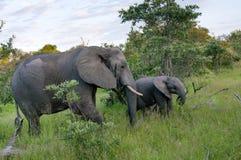 Afrykańskiego słonia rodzina w Południowa Afryka Obrazy Royalty Free