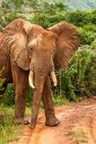 afrykańskiego słonia samiec Zdjęcia Stock