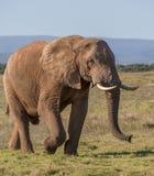 Afrykańskiego słonia samiec w Południowa Afryka Fotografia Stock