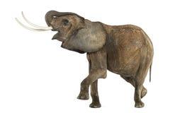 Afrykańskiego słonia spełnianie, odizolowywający fotografia royalty free
