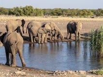 Afrykańskiego słonia stado, Loxodonta a africana, blisko waterhole, Etosha park narodowy, Namibia zdjęcia stock