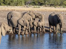 Afrykańskiego słonia stado, Loxodonta a africana, blisko waterhole, Etosha park narodowy, Namibia fotografia royalty free