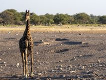 Afrykańskiego słonia stado, Loxodonta a africana, blisko waterhole, Etosha park narodowy, Namibia obraz royalty free