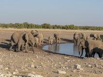 Afrykańskiego słonia stado, Loxodonta a africana, blisko waterhole, Etosha park narodowy, Namibia zdjęcie stock
