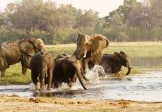 Afrykańskiego słonia stado Pije w Okovango Fotografia Stock