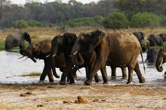 Afrykańskiego słonia stado Pije w Okovango Zdjęcia Royalty Free