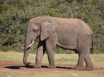 Afrykańskiego słonia strona Fotografia Royalty Free