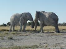 Afrykańskiego słonia walka Zdjęcie Royalty Free